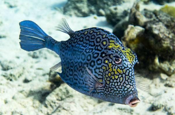 honeycomb-cowfish