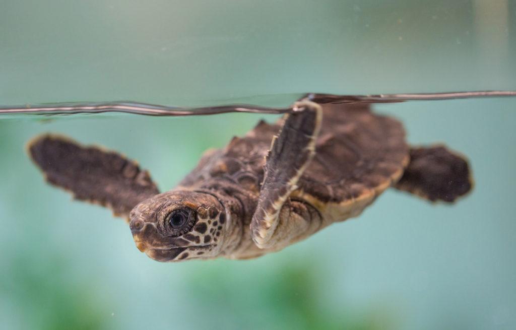 loggerhead-sea-turtle-raven